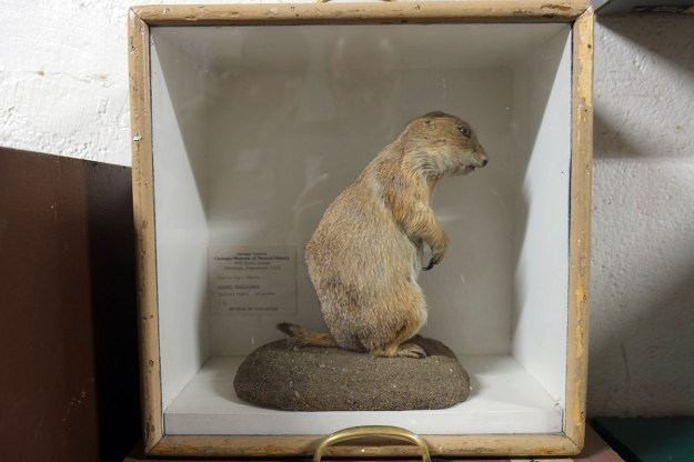 the prairie dogs are everywhere (along wi the bison)