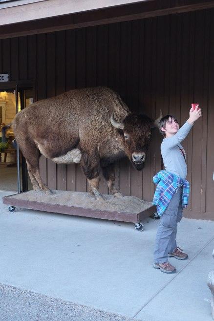 Safe Bison-Selfie No.2. Dead bison are much safer than live bison.