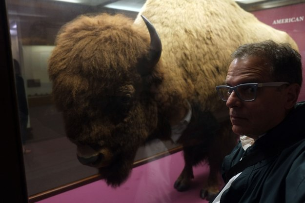 Safe Bison-Selfie No. 3, in the Field Museum. Stuffed bison are even safer when they are in glass cases.
