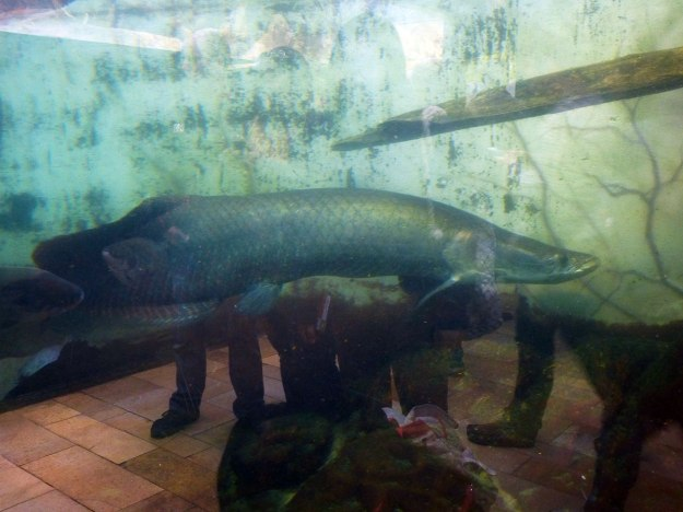 Arapiama, the largest fish in the Amazon