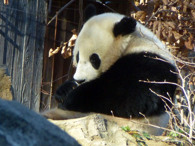 Giant Panda (I can't remember who this one is)