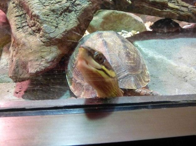 Peekaboo Turtle