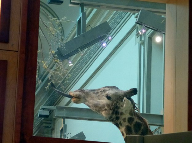 Giraffe in the window