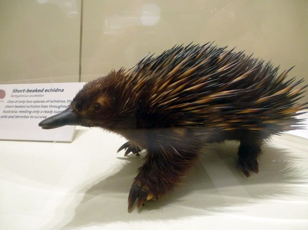 Echidna, one of only two remaining monotremes